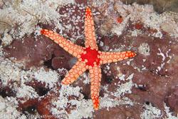 BD-130710-Maldives-0088-Fromia-nodosa.-A.M.-Clark.-1967-[Elegant-sea-star].jpg